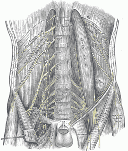 genitofemoral nerve running through psoas