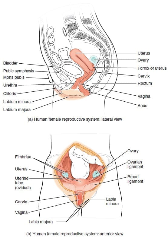 Source: Anatomy & Physiology, Connexions Web site. http://cnx.org/content/col11496/1.6/