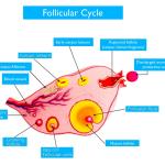 Ovulation Pain (Mittelschmertz)